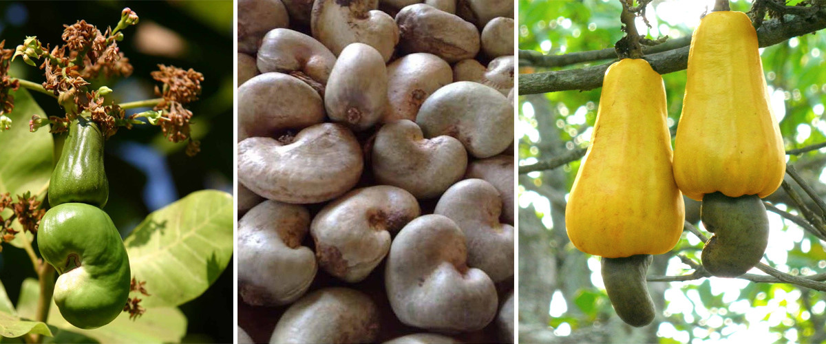 Raw Cashewnuts supplier in india